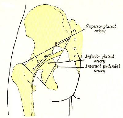 sciatic nerve - sciatica pain